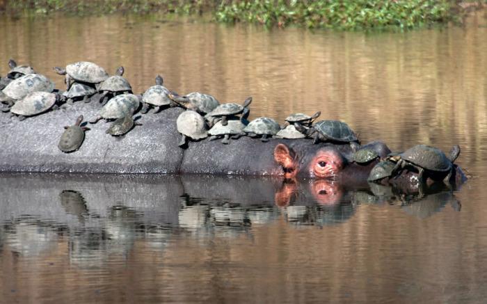 Большая компания красноухих черепах устроила небольшой пикник на спине огромного бегемота, словно тот - плавающий остров, национальный парк Крюгер, Южная Африка.