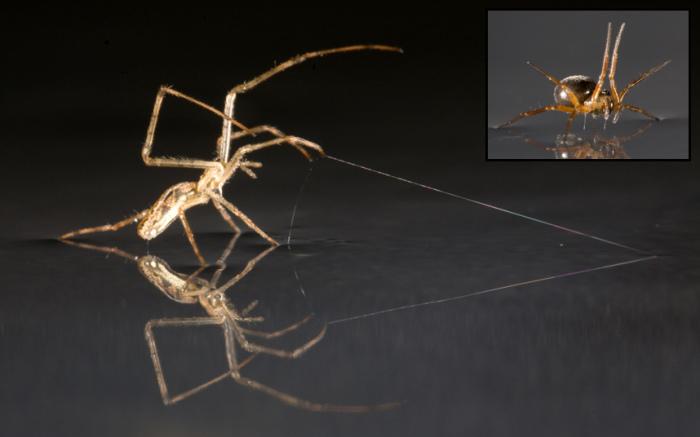 Учёные выяснили, что пауки-тетрагнатиды могут плавать по воде, используя лапки, как паруса, и паутину в качестве якоря.