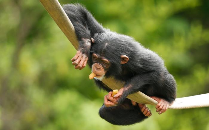 Шимпанзе по имени Рубен играет в своём вольере в зоопарке в городе Оклахома-Сити, штат Оклахома, США.