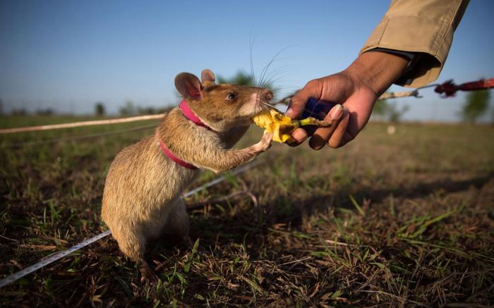 Крыса, которую обучают находить мины, получает кусок банана в качестве вознаграждения после успешного выполнения задания в городе Сиемреап, Камбоджа.