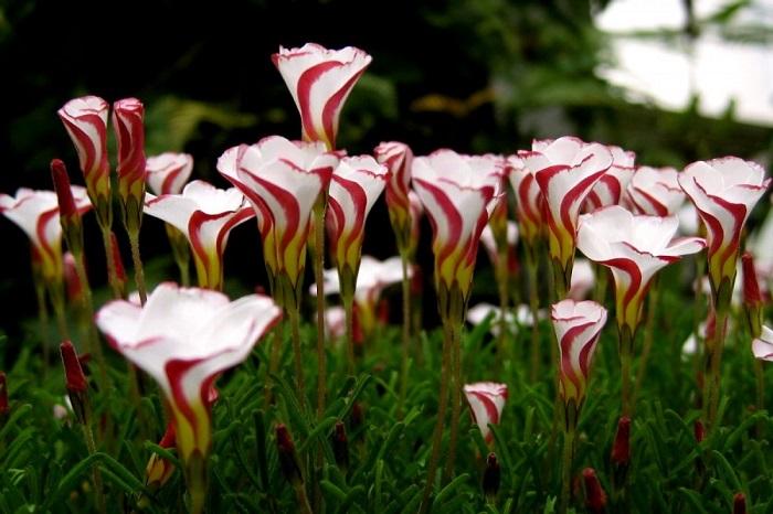 Цветки кислицы раскрываются только при ярком освещении, а вечером цветки закрываются и сворачиваются в зонтик, напоминая знакомые с детства леденцы на палочке.