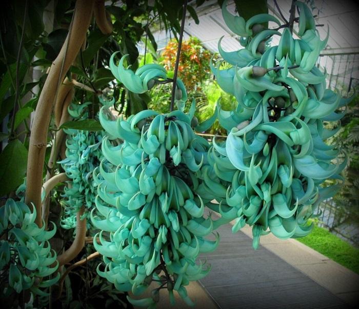 Бирюзовые растения являются родственниками гороха и фасоли, растут на Филиппинах.