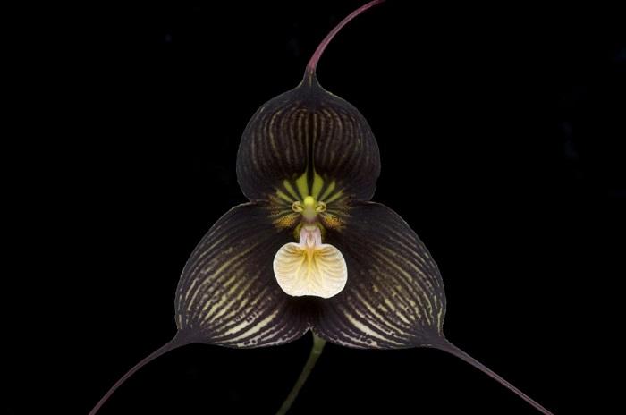 Растение растет в лесах Эквадора, Перу, любит влажность и сильно яркий свет, цветет практически круглый год, но это только в естественной среде обитания.