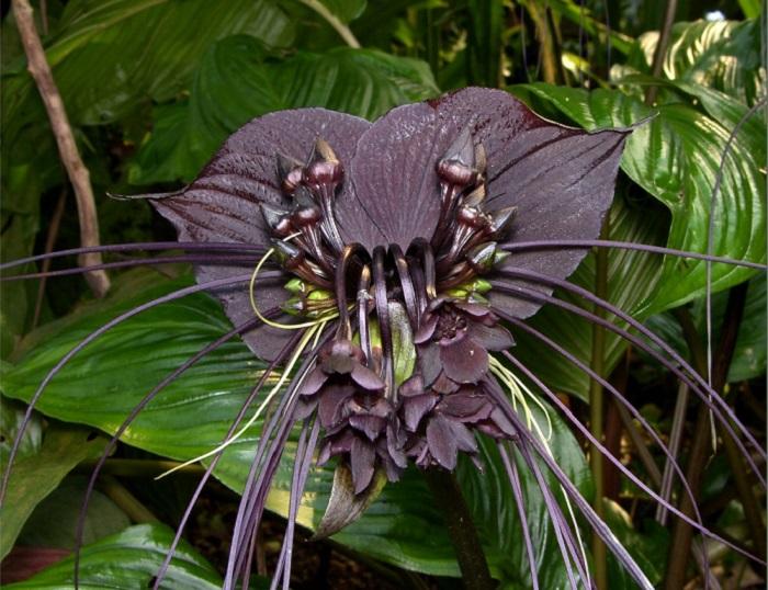 Тропический цветок, растущий в юго-восточной Азии и оазисной Африке на побережьях и в горных лесах, его также называют «черной лилией» или «цветком дьявола», существуют разновидности пурпурного и белого цвета.