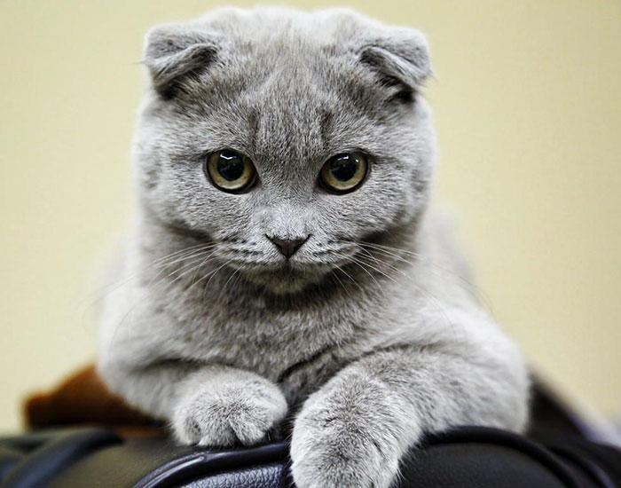 Благодаря своим загнутым вперед и вниз ушкам, шотландская вислоухая кошка получила большую известность и стала любимицей многих.