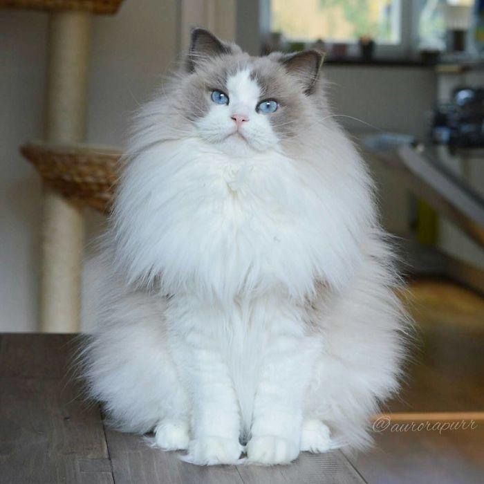 Одна из самых красивых и пушистых кошек.