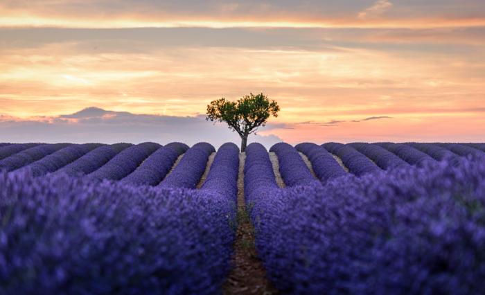 Красота лавандовых полей не может не вдохновлять на романтику и поэзию. Автор фотографии Чжун Хан (Zhong Han).