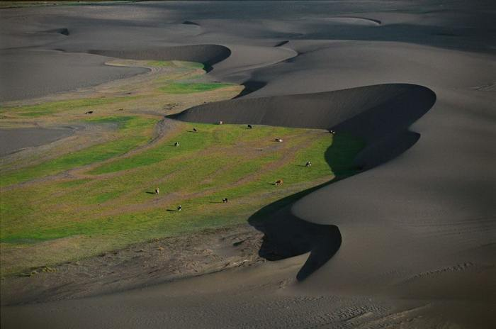 Коровы пасутся на пастбище между дюнами.