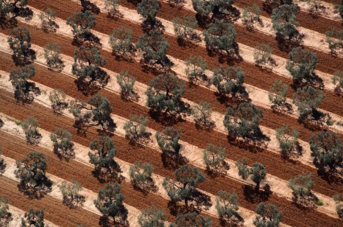 Огромные плантации оливковых деревьев зреют под палящим солнцем Испании.