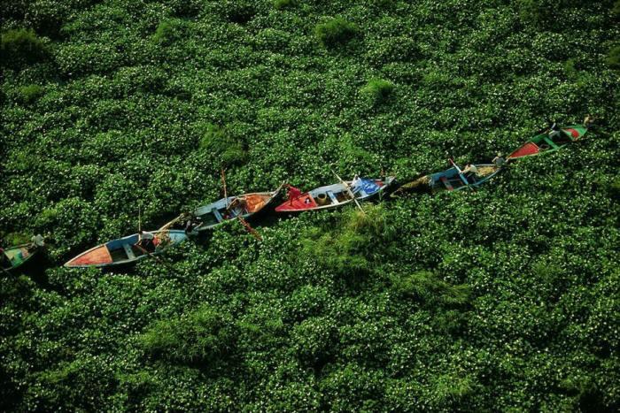 Бурно разросшиеся заросли водного гиацинта расползлись по каналу и практически перекрыли по нему все передвижение.
