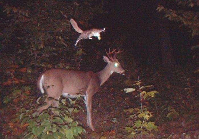 Кажется, пугать по ночам оленей – любимое занятие белок-летяг.