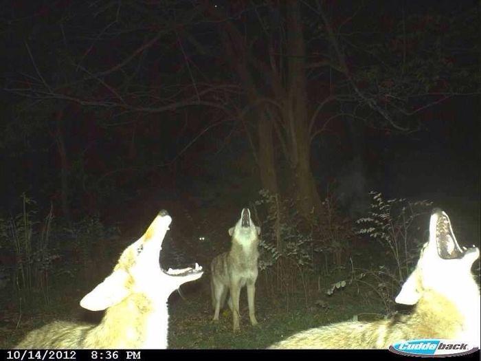 Ночная репетиция хора койотов под бдительным присмотром неизвестного руководителя.
