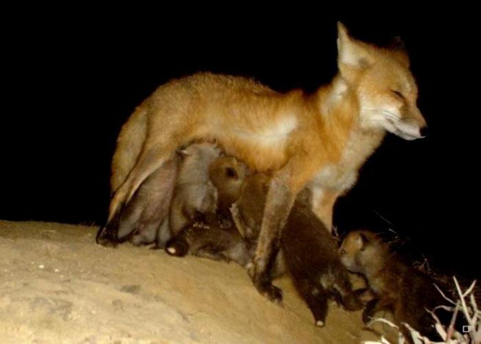 Ночное кормление - самое утомительное, даже лисице жутко хочется спать.