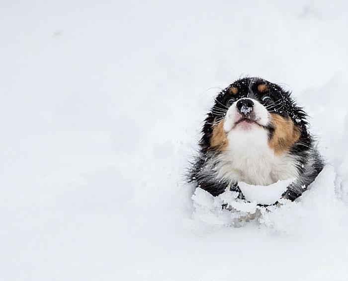 Довольный щенок, бегущий по глубокому снегу.