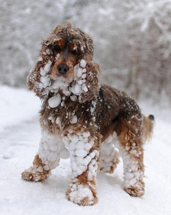 Можно только посочувствовать хозяину пса, которому придется избавляться от налипших снежных комочков.