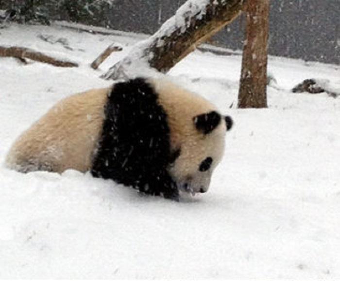 Детеныш большой панды исследует первый в своей жизни снег.
