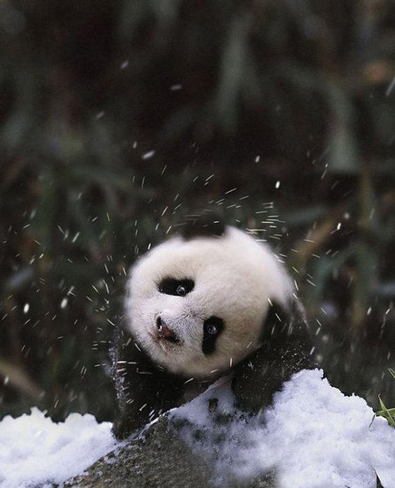 Милый малыш-панда играет в снегу.