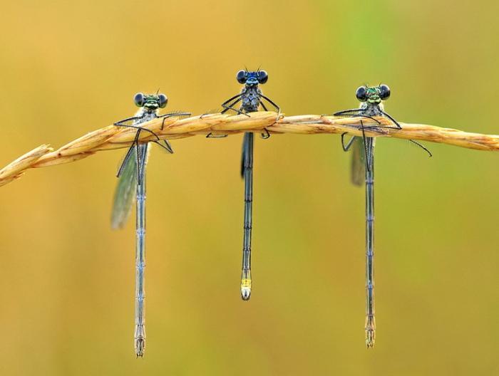 Три стрекозы на колоске. Автор фотографии: Алена Шевцова (Aliona Shevtsova).