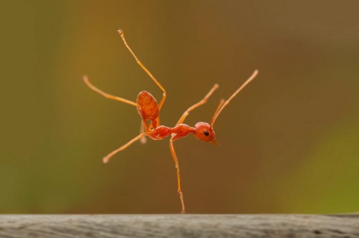 Танец очень решительного муравья. Автор фотографии: Robertus A S.