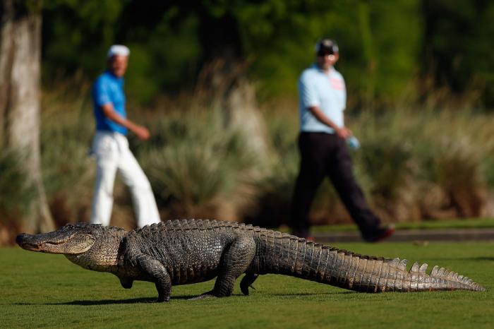 Аллигатор спокойно прохаживается по полю для гольфа в Луизиане. Автор фотографии: Chris Graythen.