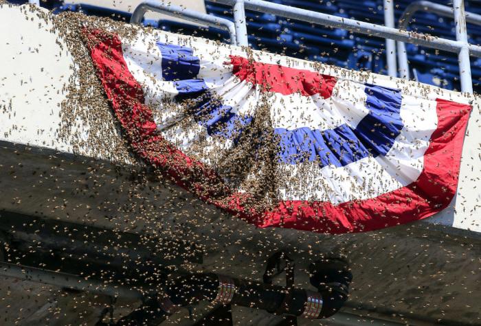 Рой пчел на бейсболе в Канзас-Сити, штат Миссури. Автор фотографии: Orlin Wagner.