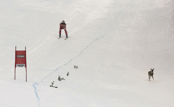 Олень на горнолыжном спуске в долине Валь Гардена, Италия. Автор фотографии: Agence Zoom.