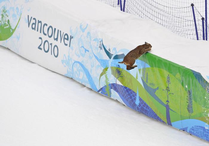 Рысь не пожелала стать участником лыжного спуска. Автор фотографии: Gero Breloer.