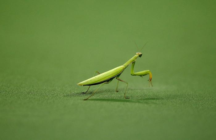 Богомол сидит на теннисном корте во время финального матча. Автор фотографии: Al Bello.
