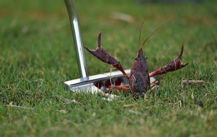 Рак залез в клюшку для гольфа и приветливо машет клешнями. Автор фотографии: Stuart Franklin.