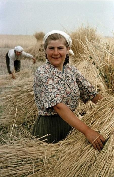 Большой урожай пшеницы в украинском совхозе.