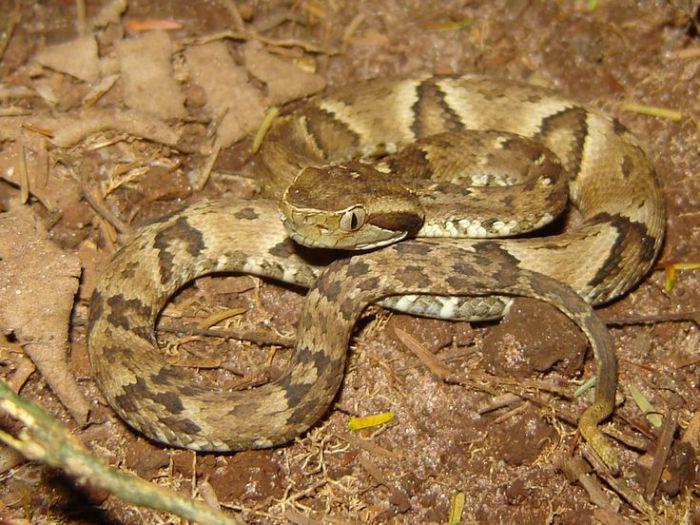 Весьма обыкновенная и чрезвычайно ядовитая змея.
