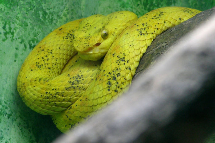 Змея тропических лесов, типичный хищник, нападающий из засады.