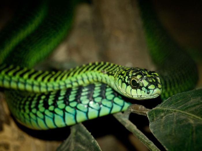 Красивая и очень опасная змея из семейства ужеобразных, её яд в два раза опаснее, чем яд гадюки или индийской кобры.