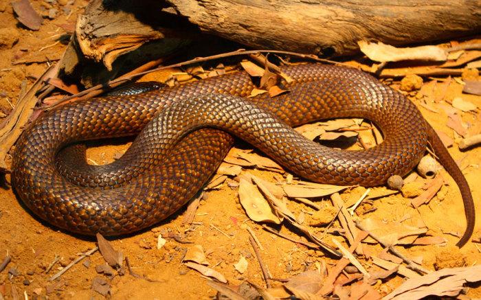 Самая агрессивная австралийская змея, даже при малейшей угрозе она начинает защищаться, а не бросается в бегство.
