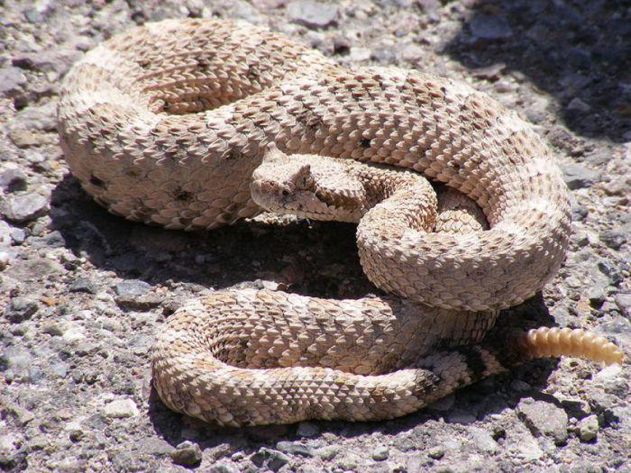 Самая известная змея в мире - треском своего хвоста предупреждают об опасности именно гремучие змеи.