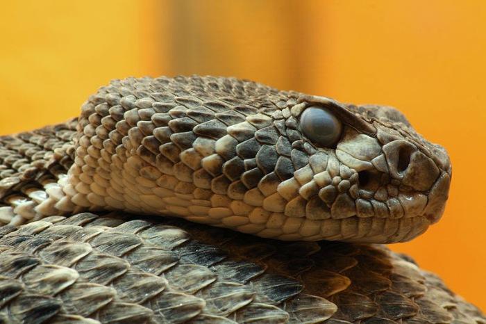 Одна из самых опасных змей на нашей планете.