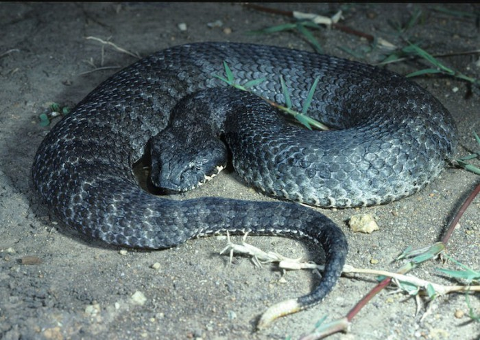 Гадюкообразная смертельная змея водится в Австралии и Новой Гвинее, часто охотится на других змей, обычно из засады.