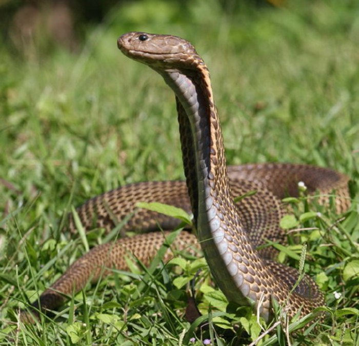 В результате укуса этой змеи смерть человека может наступить через полчаса.