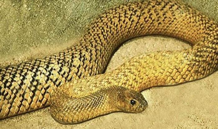 Особенностью этой змеи является не высокая токсичность яда, а скорость, с которой она кусает свою добычу.