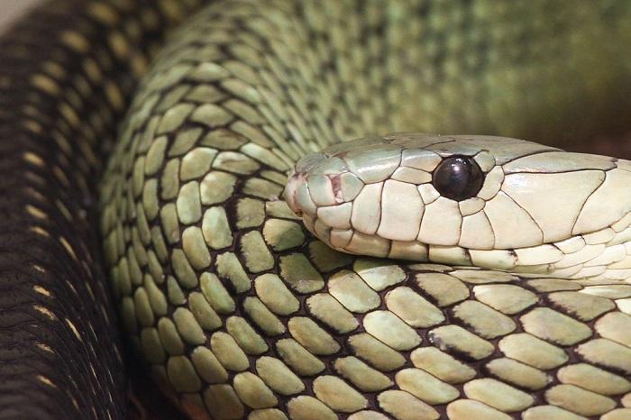 Встречается в дождевых лесах западной Африки, очень бдительная, раздражительная и чрезвычайно быстрая змея.
