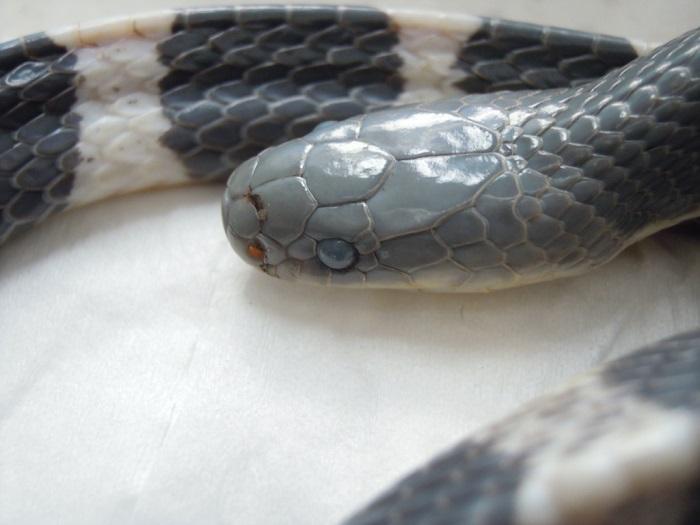 Одна из самых опасных змей для человека.