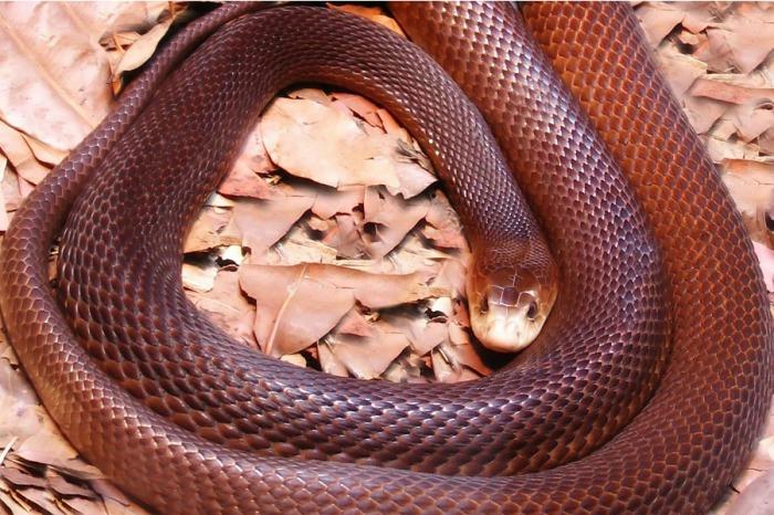 Самая опасная змея в Австралии, чрезвычайно раздражительная и бдительная змея, которая молниеносно реагирует на любое движение рядом.