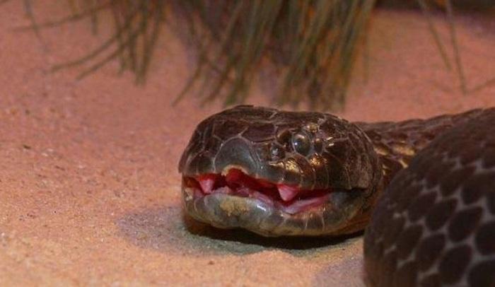 Самая ядовитая змея на планете, отличаются высокой способностью к выживанию, великолепно приспосабливаясь к одним из самых суровых условий для жизни.
