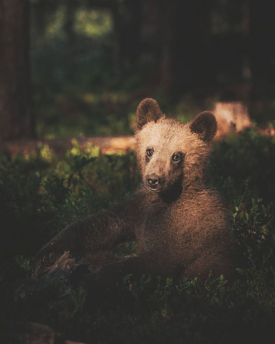 Лесной житель Скандинавии.