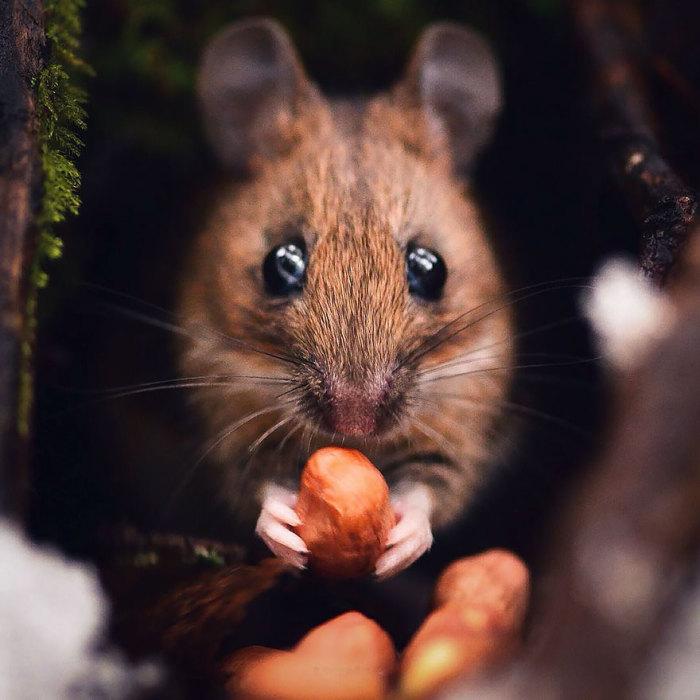 Мышка в объективе финского фотографа.