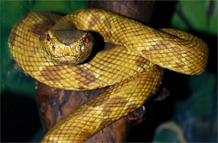 Копьеголоваяя змея - настоящая хозяйка острова.