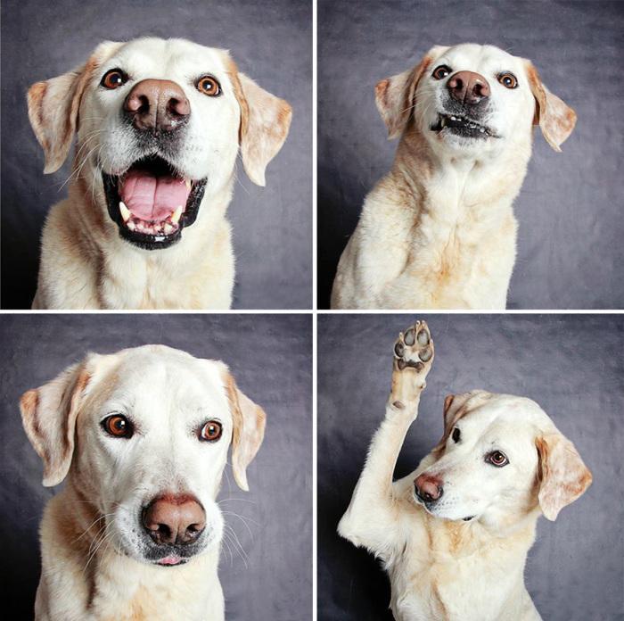 Этому лабрадору 6 лет, он все еще активный, но в отличии от молодых собак - спокойный и аккуратный.