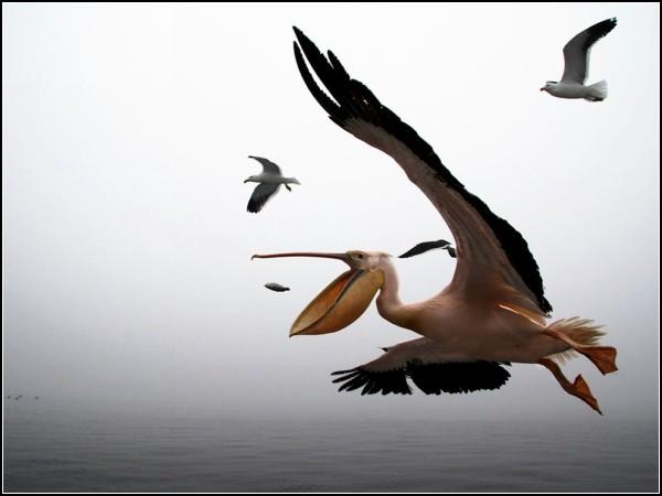 Pelican, Namibia