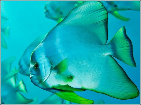 Spadefish, Bonin Islands