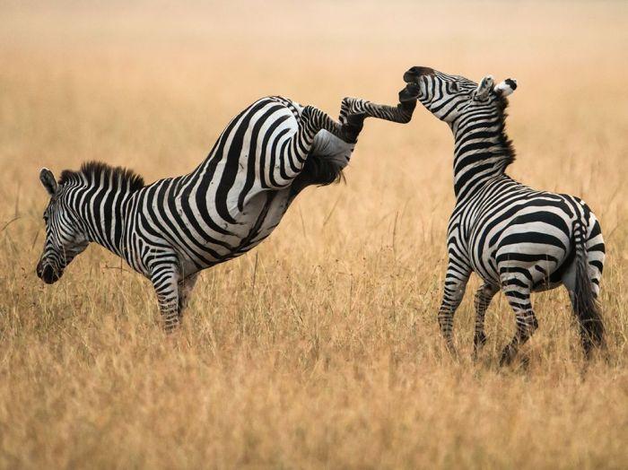 Zebras, Kenya